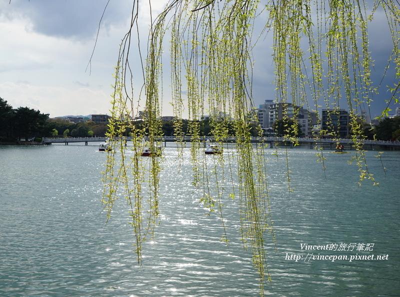 大濠公園 垂柳