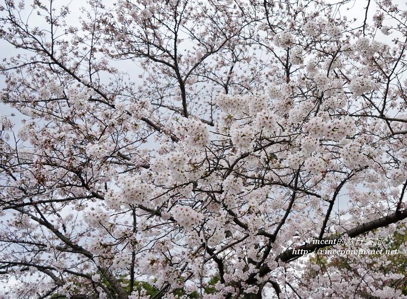 舞鶴公園櫻花2