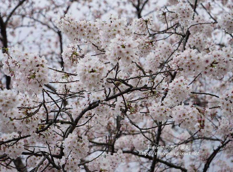 舞鶴公園櫻花