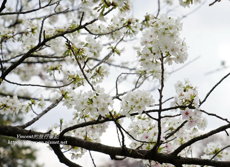 舞鶴公園櫻花3