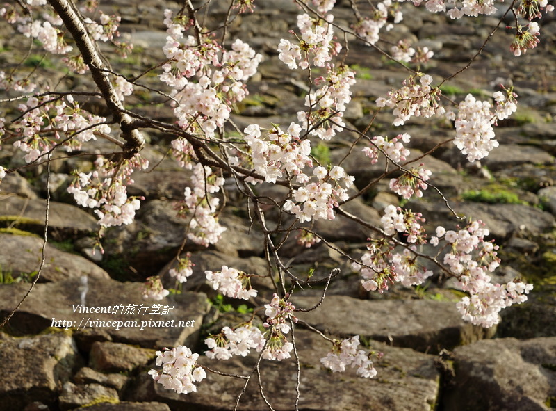 城牆與櫻花