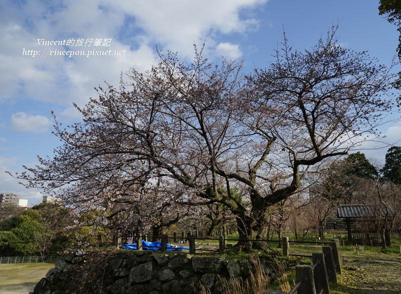 城牆上櫻花樹