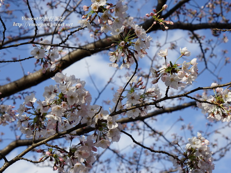 福岡城櫻花1