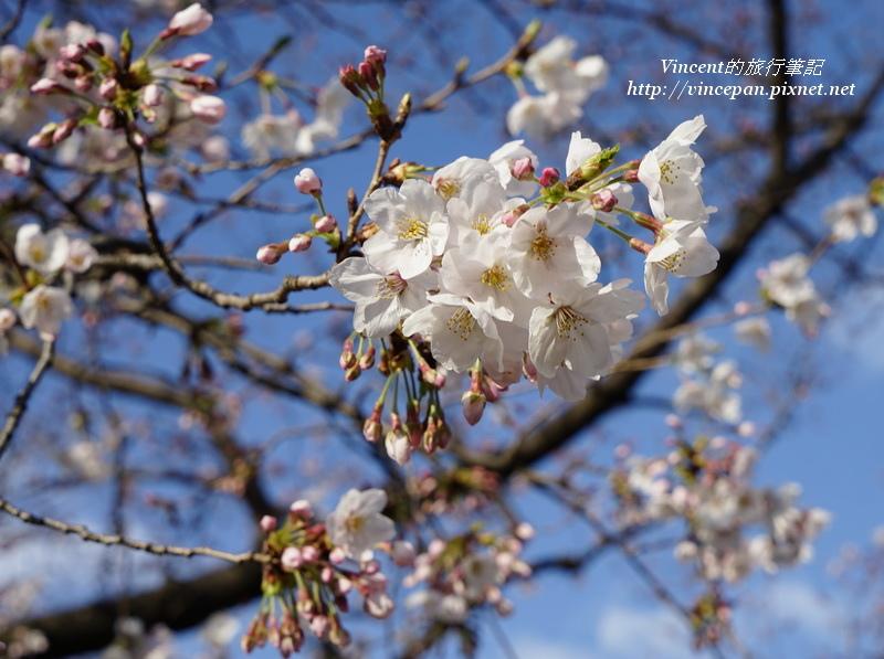 福岡城櫻花2