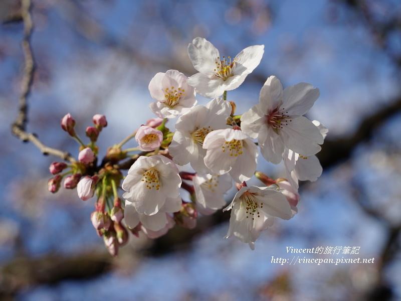 福岡城櫻花3