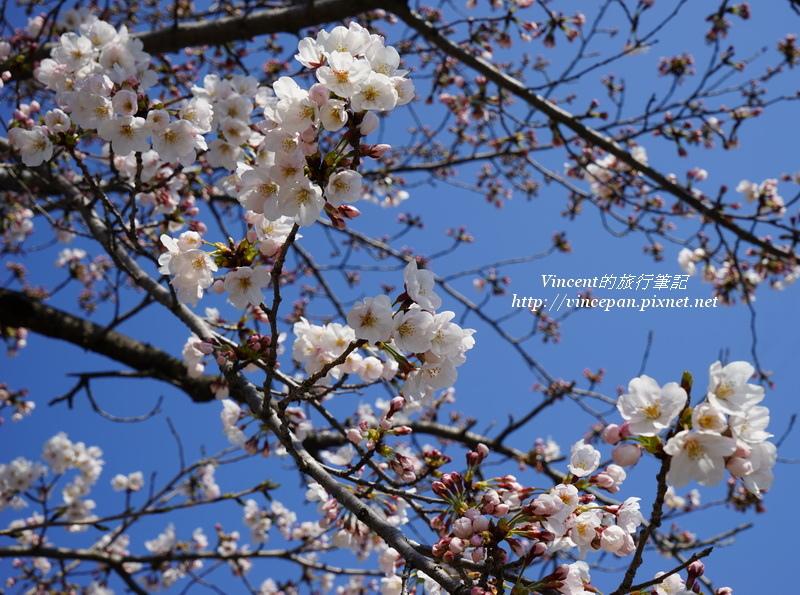 元安川櫻花1