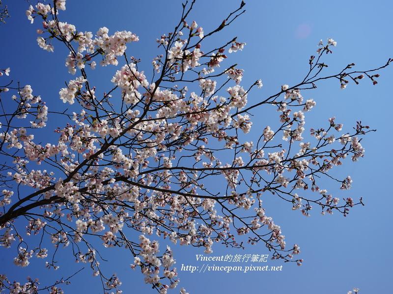元安川櫻花2