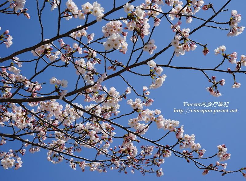 元安川櫻花3