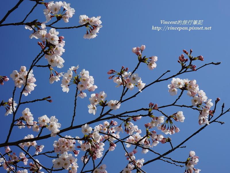 元安川櫻花4
