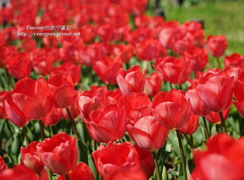 和平記念公園 鬱金香