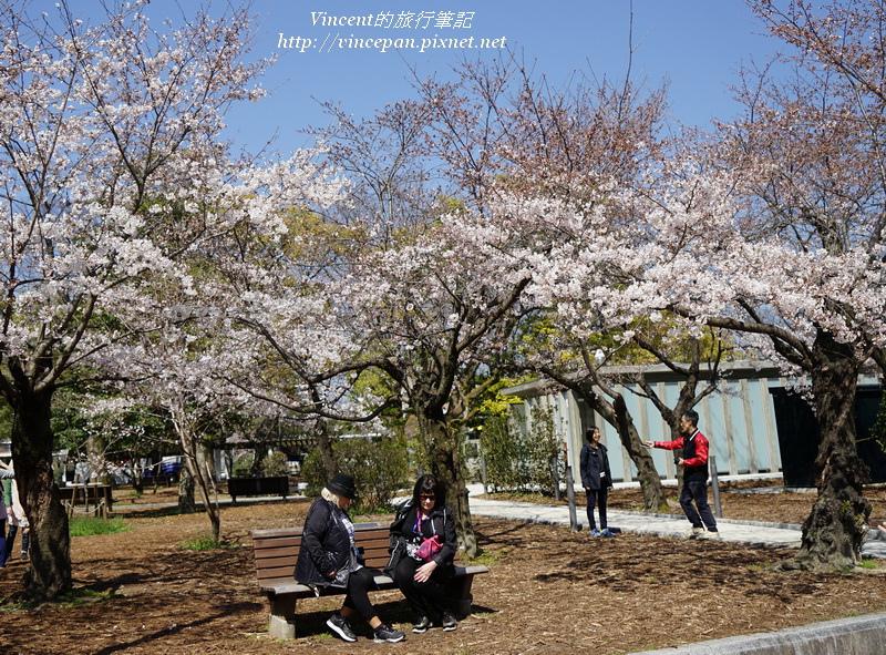 和平紀念公園 櫻花