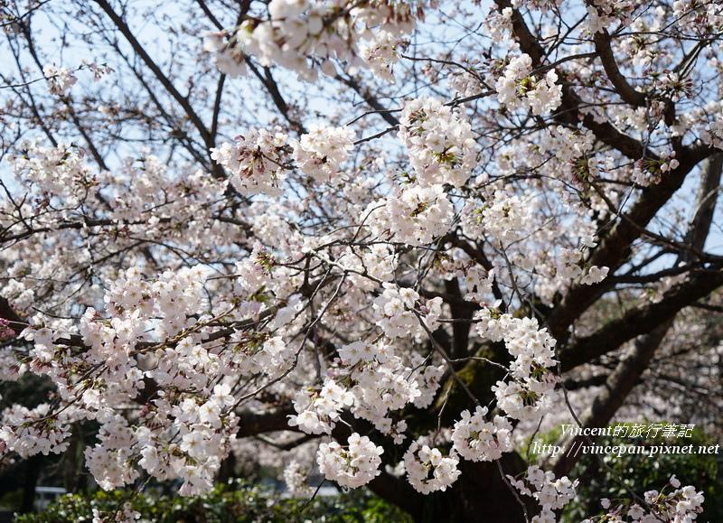 和平紀念公園 櫻花1