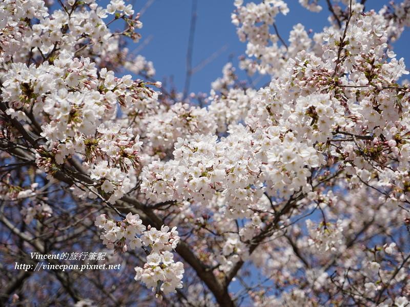 和平紀念公園 櫻花2