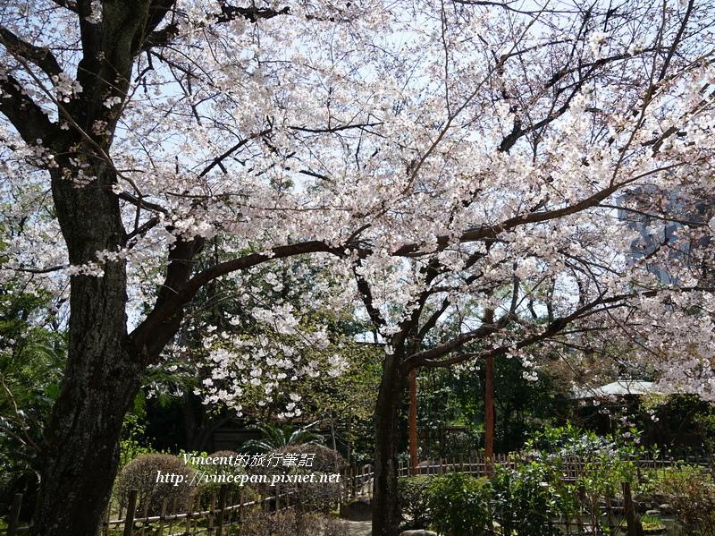 縮景園櫻花2