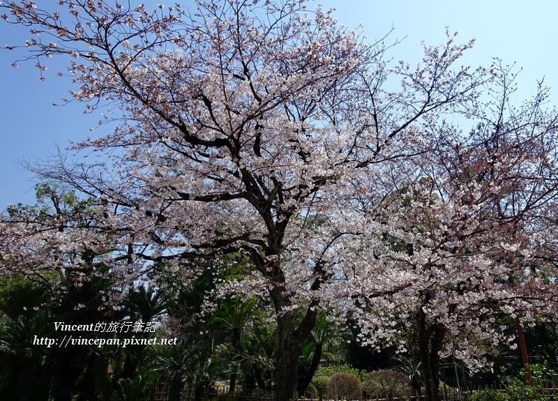 縮景園櫻花3