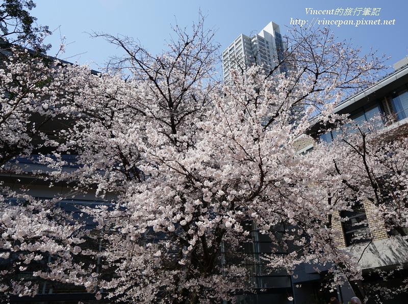 廣島美術館櫻花 2
