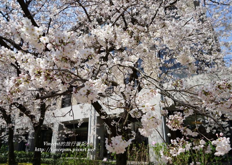 美術館櫻花