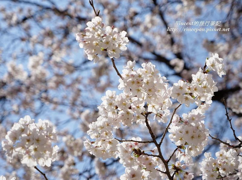 櫻花 sky
