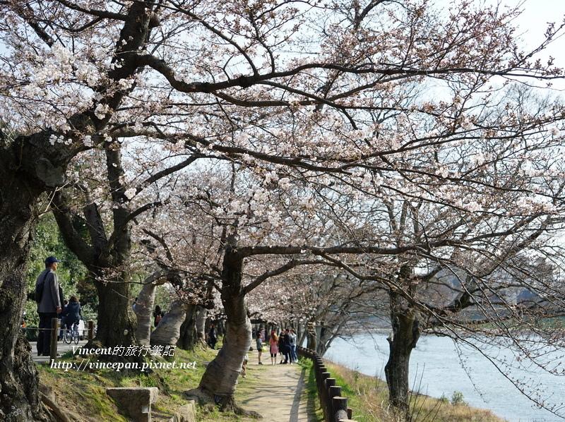 旭川畔的櫻花