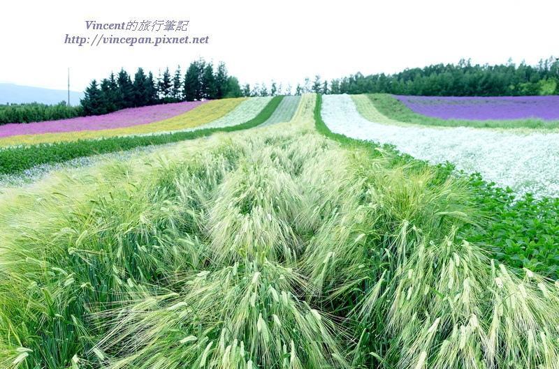 彩りの畑 小麥