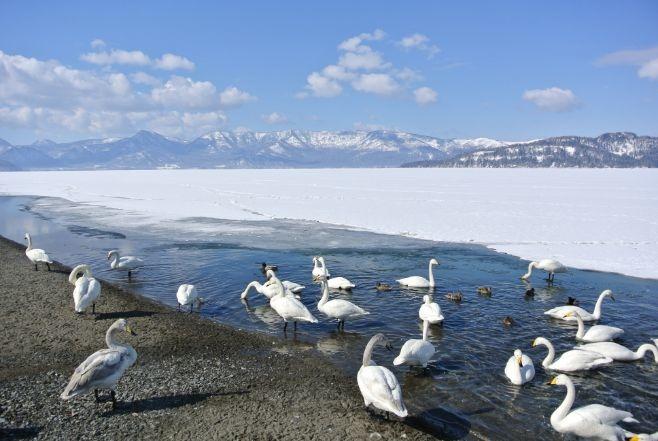 屈斜路湖 砂湯 天鵝