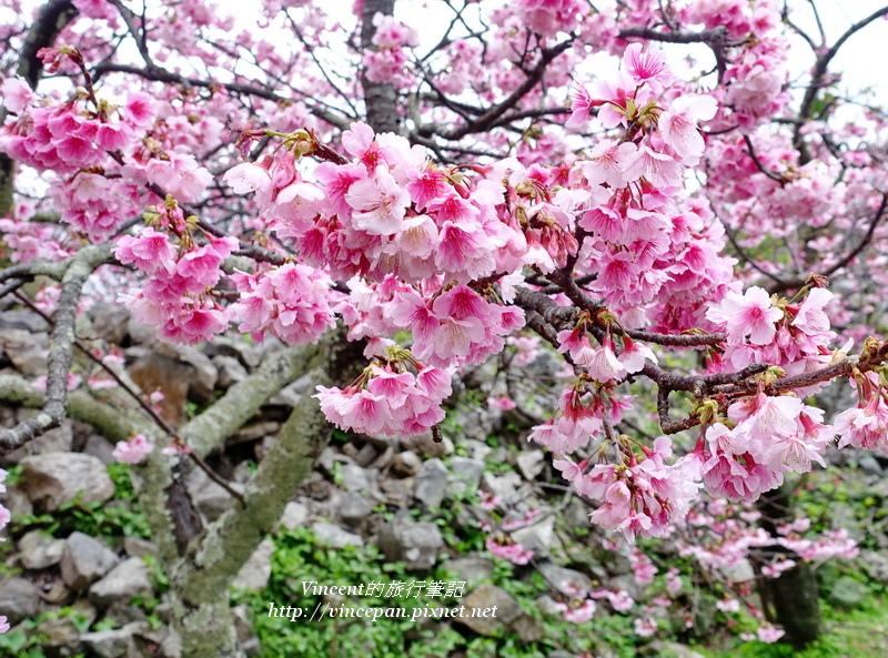 今歸仁城 櫻花