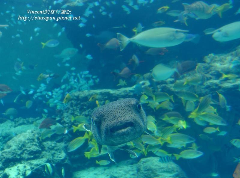 熱帶魚之海 河豚