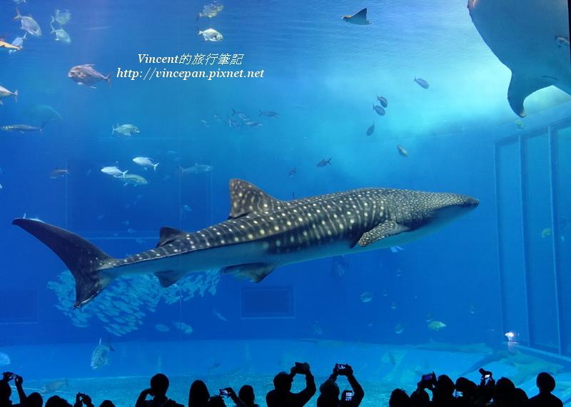 鯨鯊 兩隻