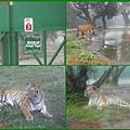 1010215_六福莊村動物園3虎