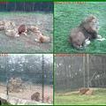 1010215_六福莊村動物園4獅