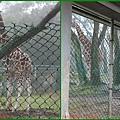 1010215_六福莊村動物園8長頸鹿