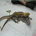 1010817_恐龍營背綠鬣蜥
