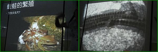 1010907_昆蟲課青蛙繁殖