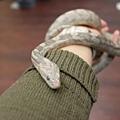 1011205_蝌蚪班玉米蛇眼