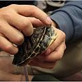 1020116_蝌蚪班巴西龜