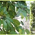 1030314_紅樹林鴨掌樹