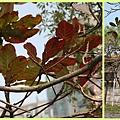 1030314_紅樹林欖仁樹1