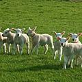 lamb4.jpg