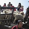 詭異的趕羊時刻  可是趕上去之後  沒多久又自由了