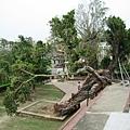 被颱風吹倒的大樹