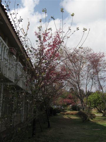 國民賓館真的種滿山櫻花耶