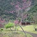 太魯閣櫻花