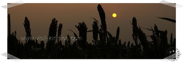 夕陽下的高粱