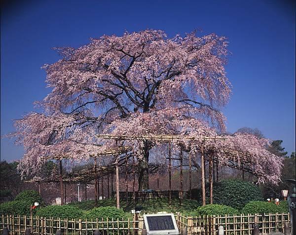 円山公園②.jpg