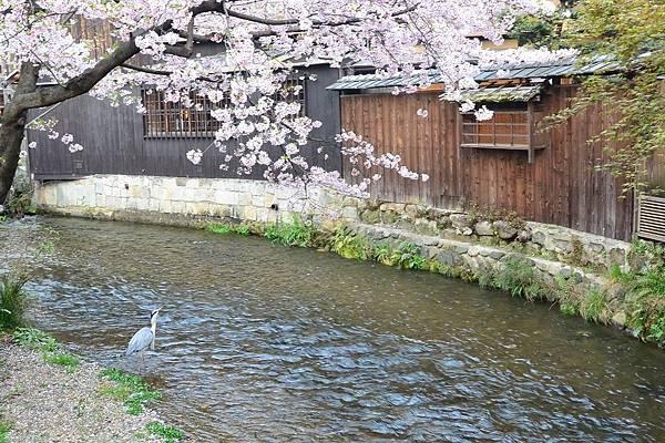 祇園・白川②.jpg