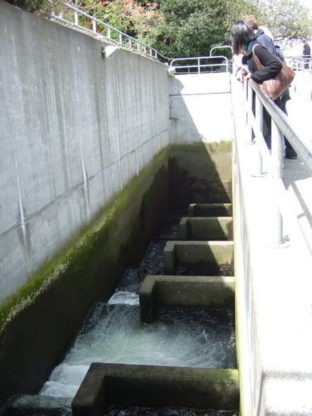 西雅圖-據說這裡的魚兒會往上游