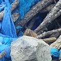 白揚神木的土撥鼠