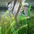 科博館裡的神仙埃及魚