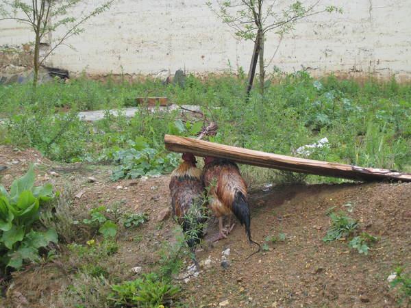 兩隻雞在躲雨,超妙