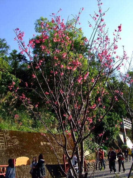 漂亮的櫻花